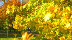 Autumn leaves fall from maple branches - stock footage