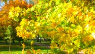 Autumn leaves fall from maple branches Stock Footage
