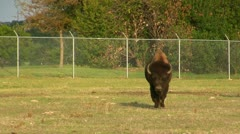 Texas Longhorn and American Buffalo coming your way Stock Footage