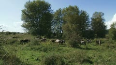 Konik wild horses herd in river foreland p Stock Footage