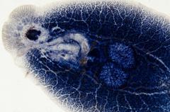 Stock Photo of aquaculture fish parasite benedenia seriolae worm