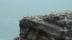 Northern Gannets at Helgoland Stock Footage