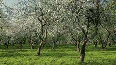 Blooming apple trees - stock footage