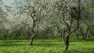 Stock Video Footage of Blooming apple trees