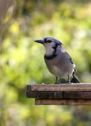 Blue Jay Stare - stock photo