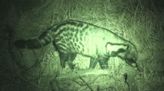 P02203 African Civet at Night filmed with Infrared Stock Footage
