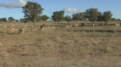 P02214 Herd of Springbok Feeding in the Kalahari Desert Stock Footage