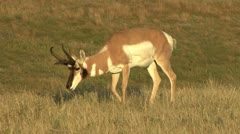 P02223 Pronghorn Antelope Buck Feeding and Zoom out of Grassland Stock Footage