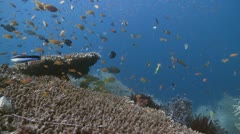 Colorful Reef & Coral Indonesia - stock footage