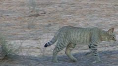 P02226 African Wild Cat in the Kalahari Desert Stock Footage
