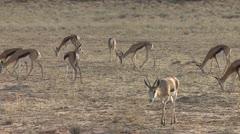 P02228 Herd of Springbok Antelope in the Kalahari in Africa Stock Footage