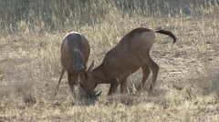 P02231 Young Hartebeest Play Fighting in the Kalahari in Africa Stock Footage