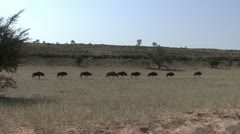 P02234 Wilderbeest Migration in the Kalahari Desert Stock Footage