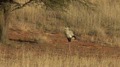 P02240 Secretary Bird in the Kalahari Desert Stock Footage