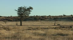 P02243 Male Lion Following a Female Lion in the Kalahari Stock Footage