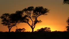 Stock Video Footage of P02247 Orange Sky and Camelthorn Trees and African Sunset