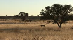 P02248 Male African Lion Walking Across the Savannah Stock Footage