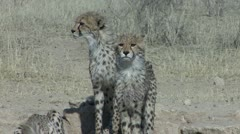 P02250 African Cheetahs in the Kalahari Desert Stock Footage