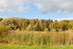 Autumn scenery with forest and rush plant and reeds Stock Photos