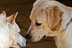 Couple canine 6 Stock Photos