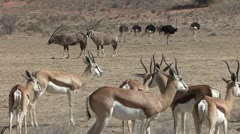 P02253 Wildlife in the Kalahari Desert in Africa Stock Footage