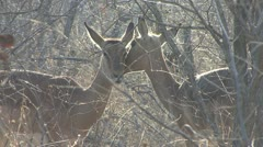 P02258 Two Impala Grooming Each Other at Kruger National Park Stock Footage