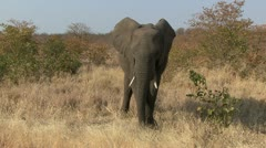 P02265 Elephant in Threatening Posture at Kruger National Park Stock Footage