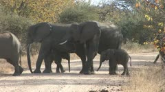 P02271 Elephant Herd on Road at Kruger National Park Stock Footage