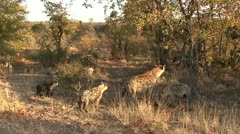 P02274 Spotted Hyena Family at Kruger National Park in Africa - stock footage