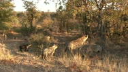 P02274 Spotted Hyena Family at Kruger National Park in Africa Stock Footage