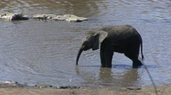 P02276 Elephant Calf Playing in Water - stock footage
