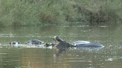 P02277 Hippo at Kruger National Park Stock Footage