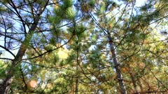 Pine tree's in the forest Stock Footage