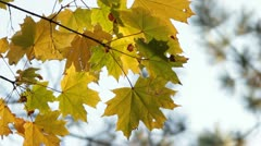 Maple in October Stock Footage