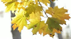 Branch of a maple Stock Footage