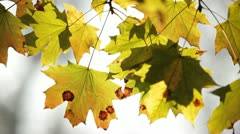 Yellowed leafs Stock Footage