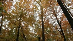 Looking upward under a gold and orange tree canopy in bright fall colors Stock Footage