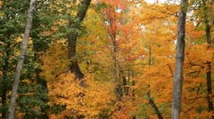 Panning shot through forest in brilliant fall colors, leaves falling Stock Footage