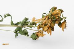 Dried herbs hypericum perforatum Stock Photos