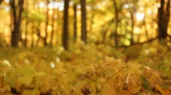 Stock Video Footage of Golden Forest Rack Focus Leaves and Trees
