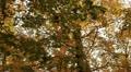 Fall Forest Tree - tilt pan downward Footage