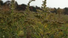 Fall Prairie Goldenrod in Wind Stock Footage