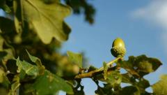 Oak tree acorn - camera move - slow motion Stock Footage
