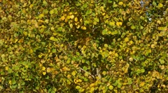 Autumn birch tree leaves in the wind Stock Footage