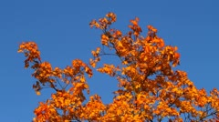 Autumn maple leaves on a blue sky Stock Footage