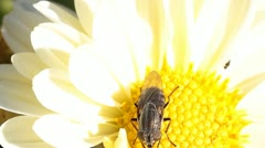 hoverfly on flower - stock footage
