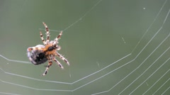 spider making a web - stock footage
