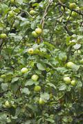 many green apples on apple-tree branch - stock photo