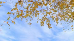 Birch branch with yellow leaves Stock Footage