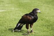 Stock Photo of bird of prey in jesses